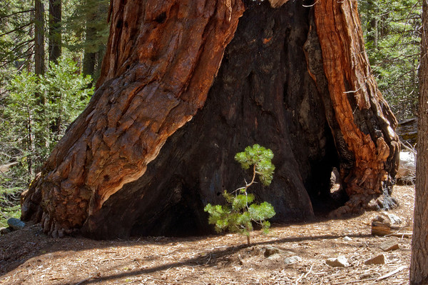 Yosemite National Park, Redwood tree in Mariposa Grove